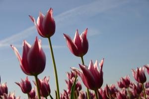 Nederlandse tulpenvelden